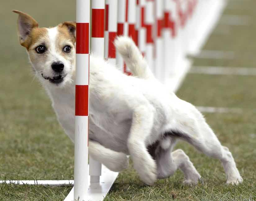Parson-Russell-Terrier-agility